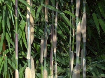 Close-up billede af en Ivory Ibis bambus
