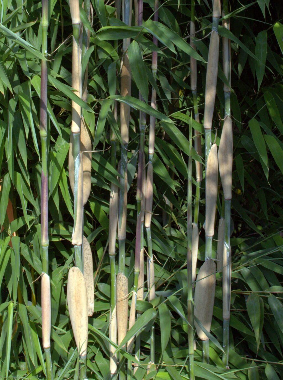 ivory ibis bambus udsalg. Black Bedroom Furniture Sets. Home Design Ideas