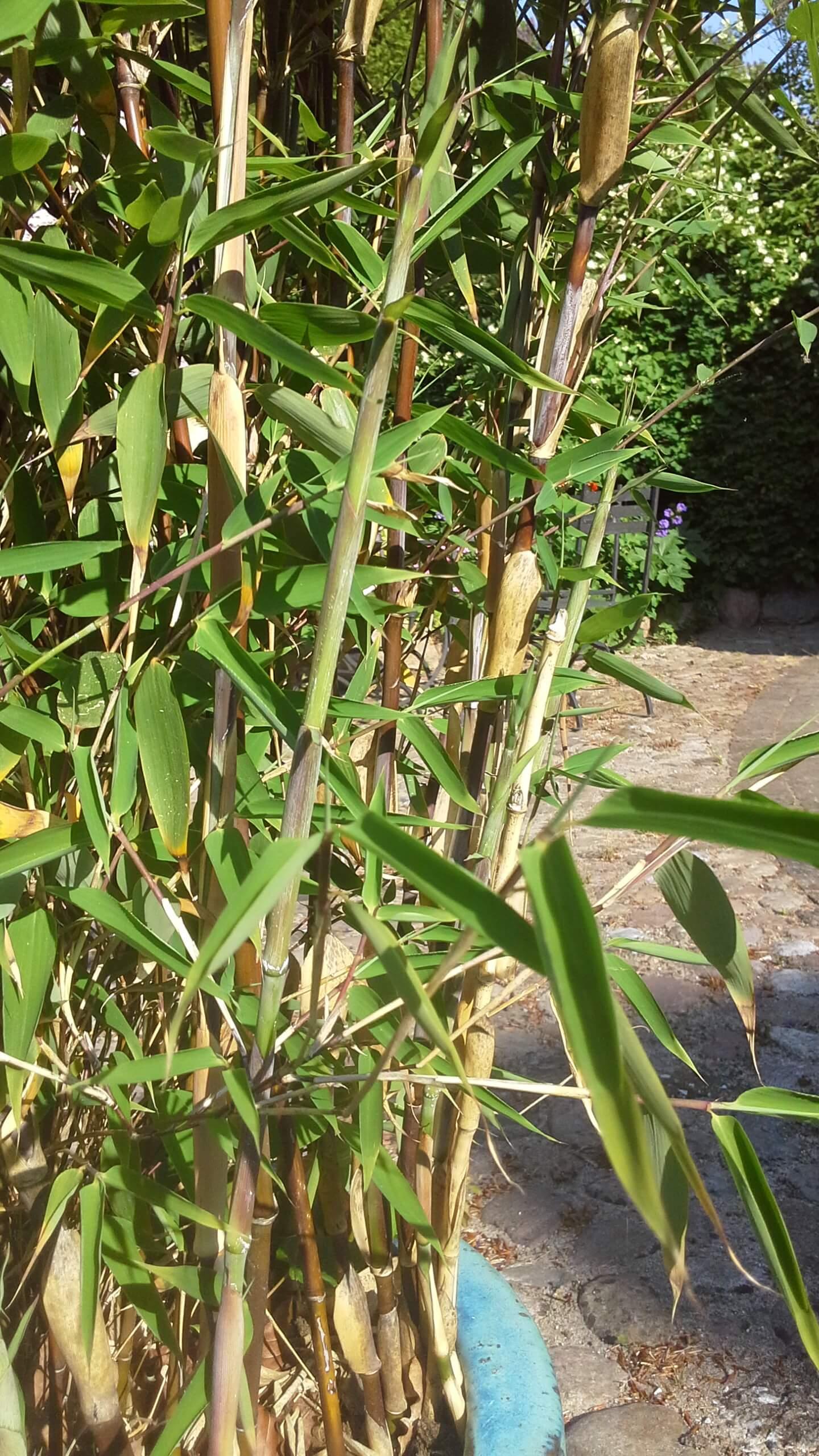 Fuldvoksen bambus