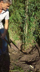 Bambusmanden graver en Maasai bambus ned