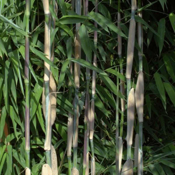 Ivory Ibis