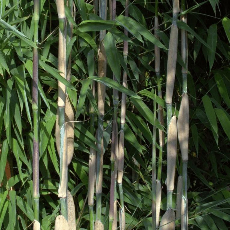 Ivory-Ibis