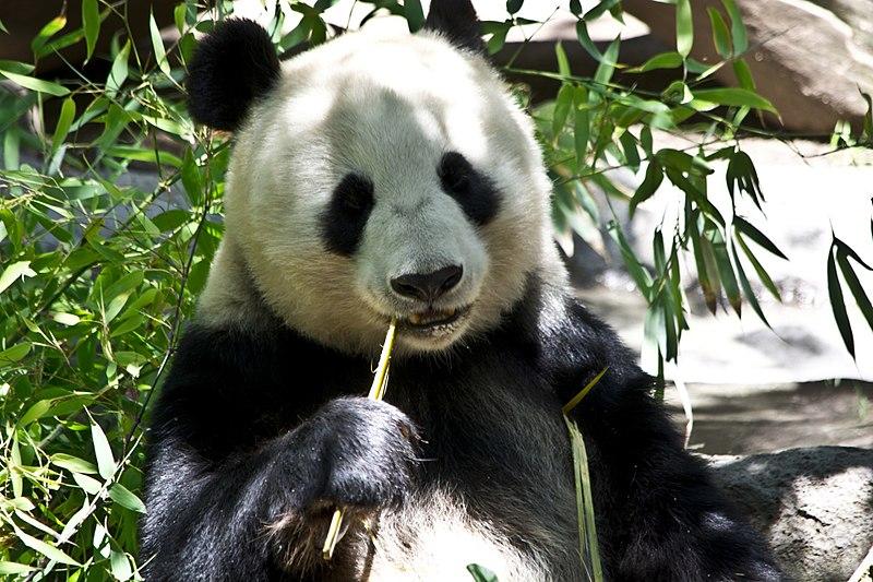 Spisende Panda
