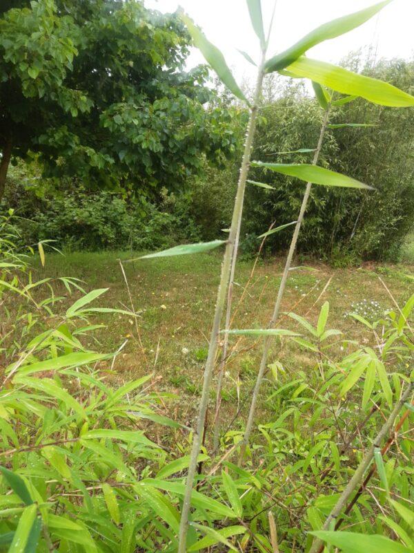 Borinda Bambus 1