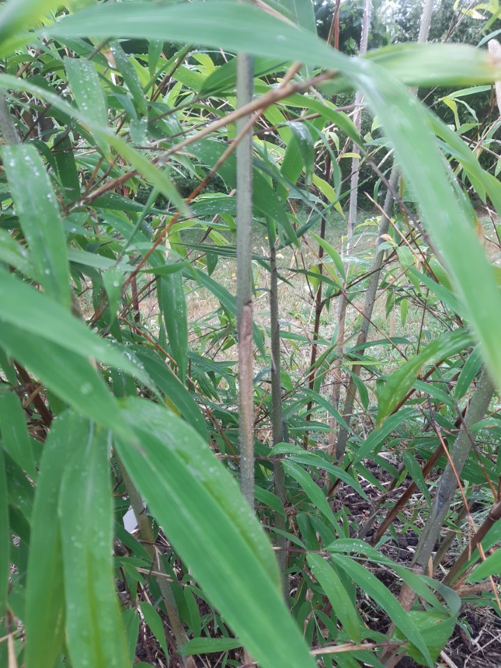 Borinda Bambus 2